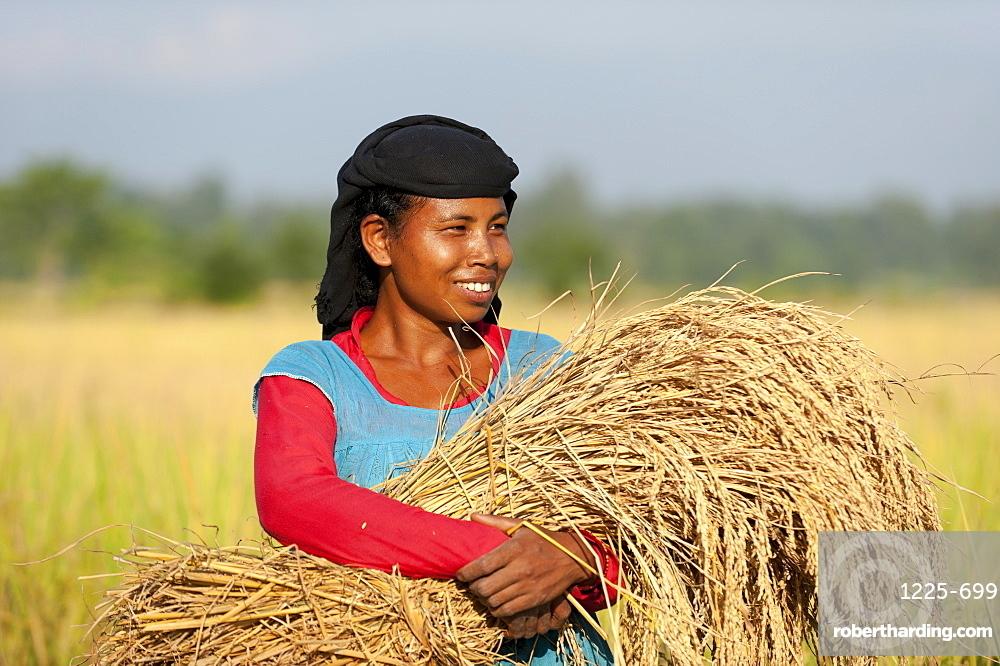 A Nepali woman carries a bundle of harvested rice, Bardiya District, Nepal, Asia