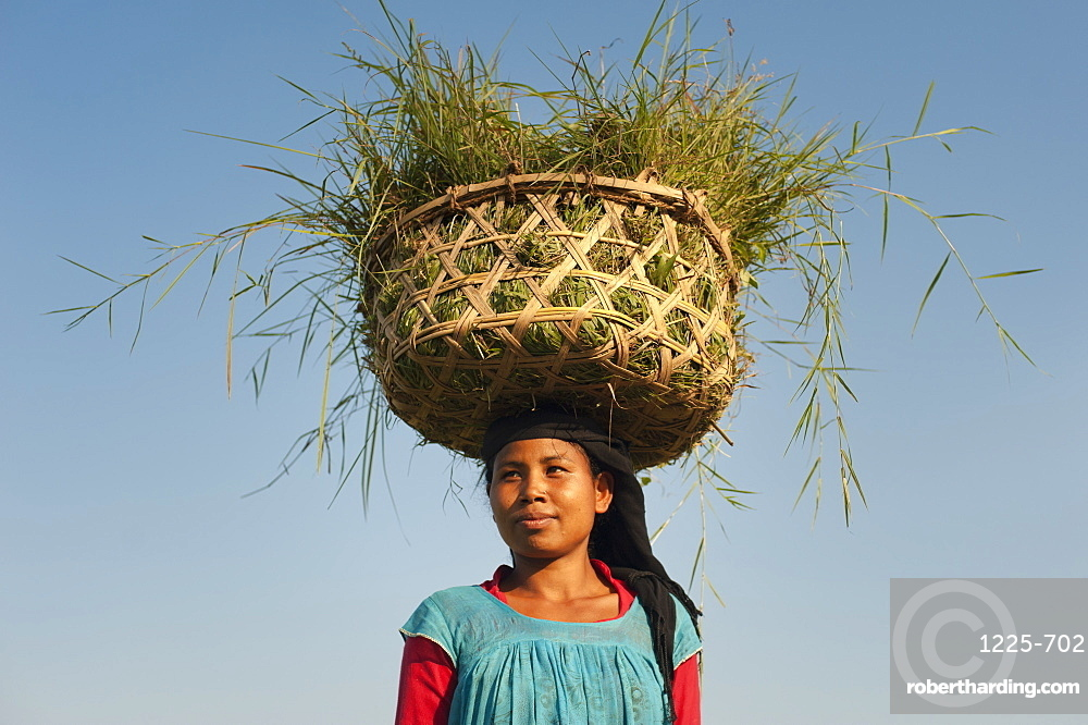 A woman collects grasses in a basket made of bamboo from the rice paddies, Bardiya District, Nepal, Asia
