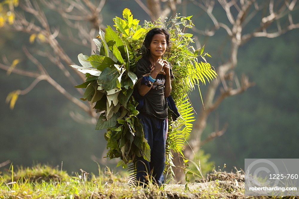 A girl collects fodder to feed the animals, Manaslu Region, Nepal, Asia