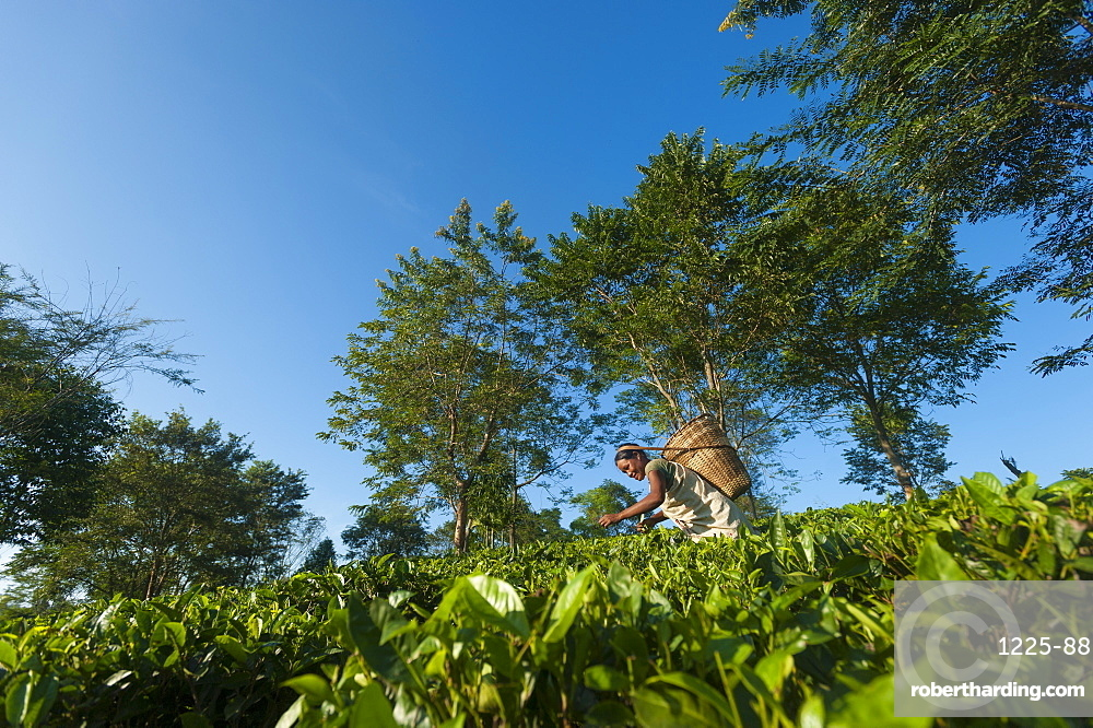 A woman collects tea leaves in Assam in north east India, India, Asia