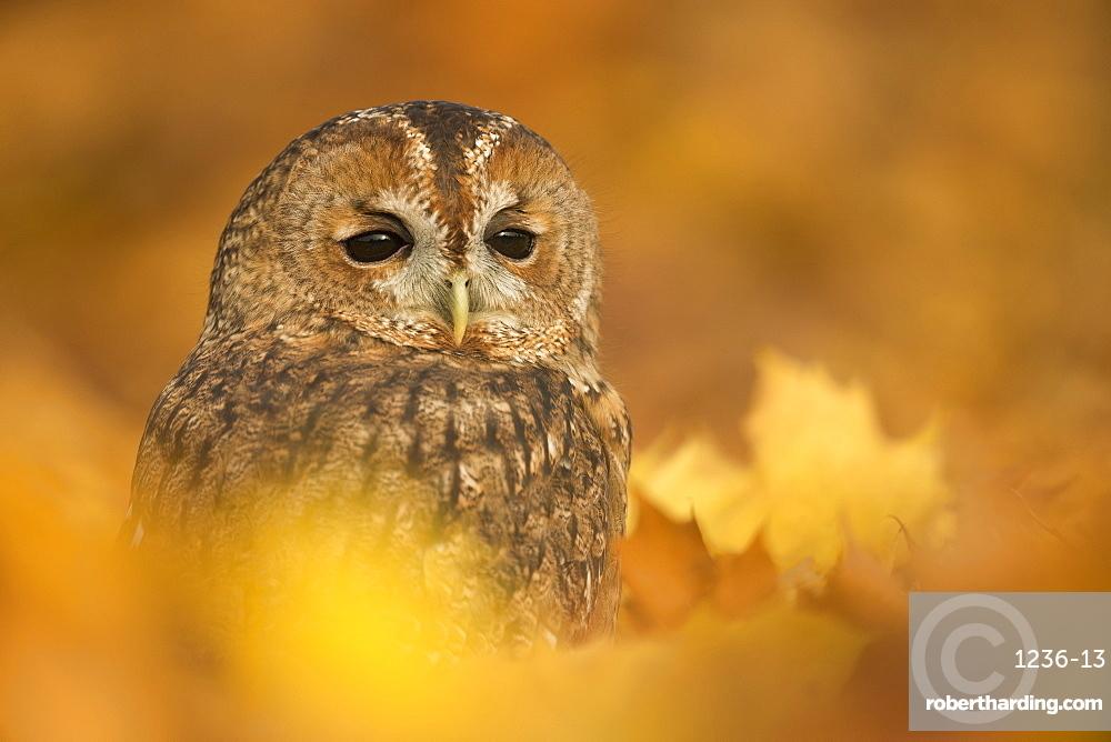Tawny owl (Strix aluco), among autumn foliage, United Kingdom, Europe
