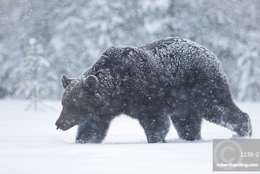 European brown bear walking in a blizzard, Finland, Scandinavia, Europe
