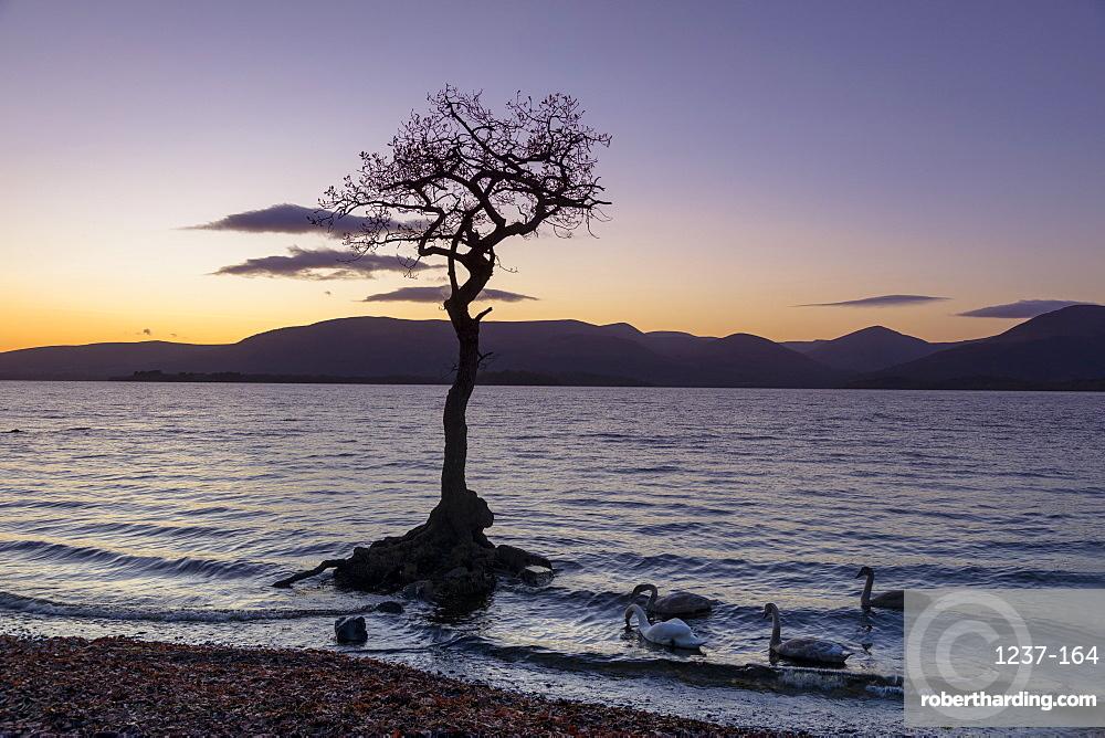 Lone tree with swans, Milarrochy Bay, Loch Lomond, Scotland, United Kingdom, Europe