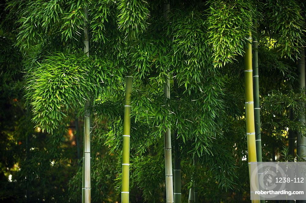 Bamboo grove in Kennin-ji temple, Kyoto, Japan, Asia