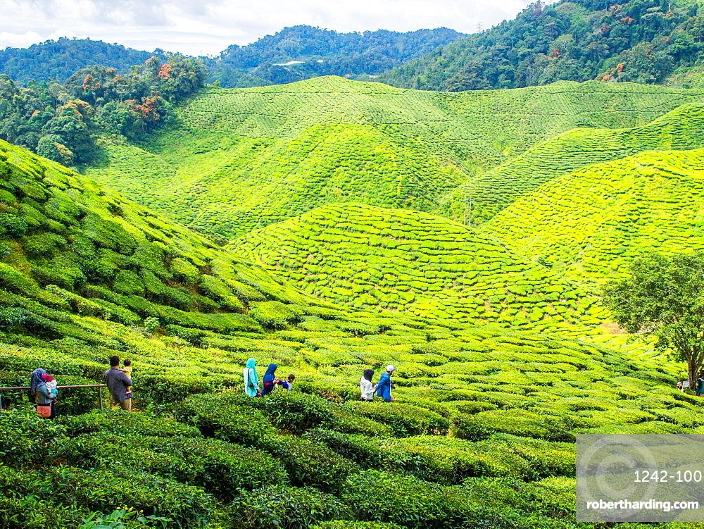 Tourists visit a tea plantation, Cameron Highlands, Malaysia, Southeast Asia, Asia