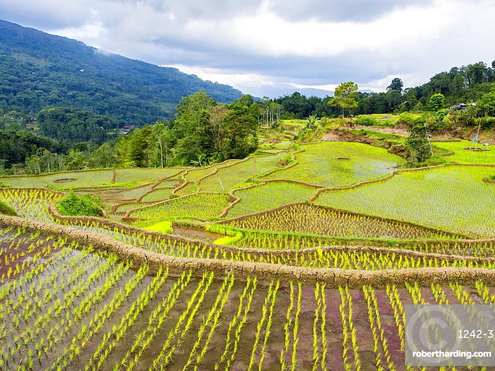 Rice paddies in Tana Toraja, Sulawesi, Indonesia, Southeast Asia, Asia