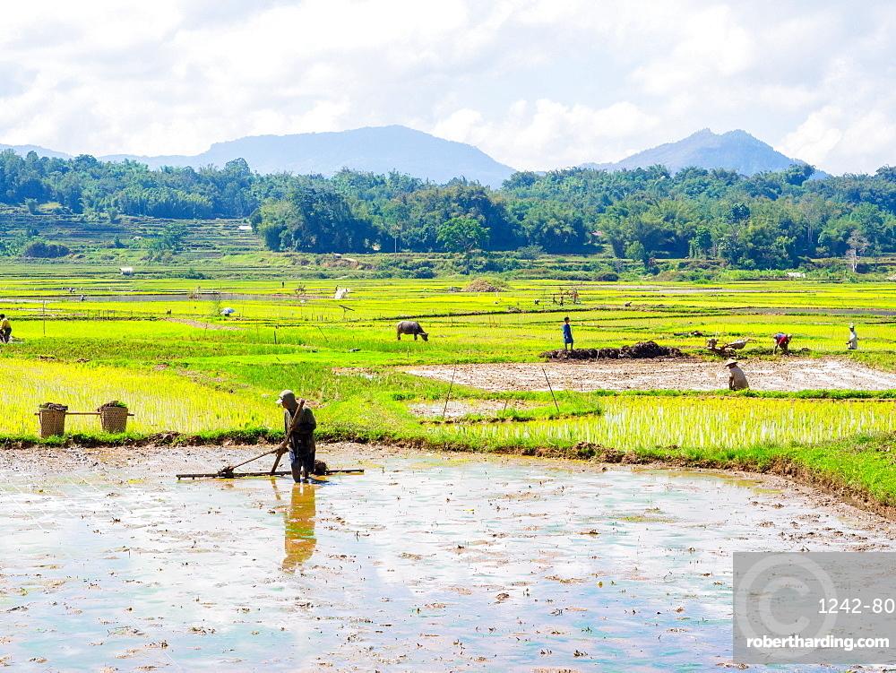 Leveling a rice field for planting, Tana Toraja, Sulawesi, Indonesia, Southeast Asia, Asia