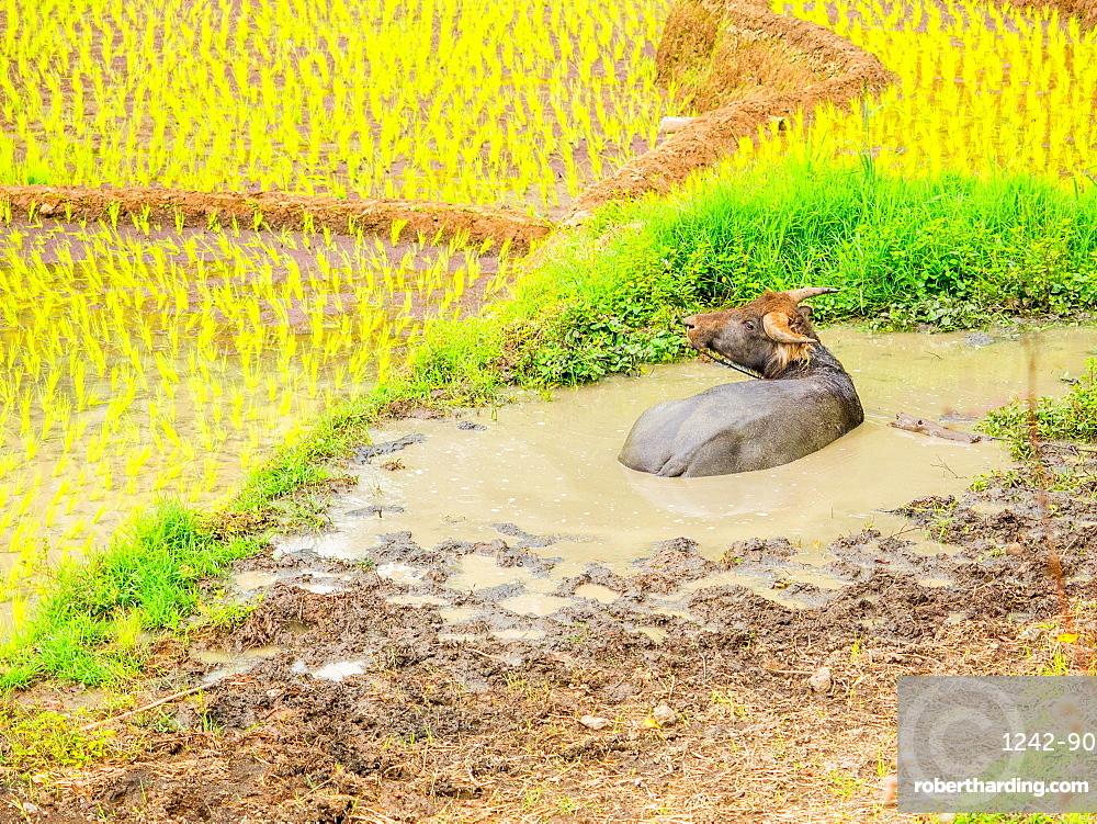 Water buffalo in the muddy rice fields, Tana Toraja, Sulawesi, Indonesia, Southeast Asia, Asia