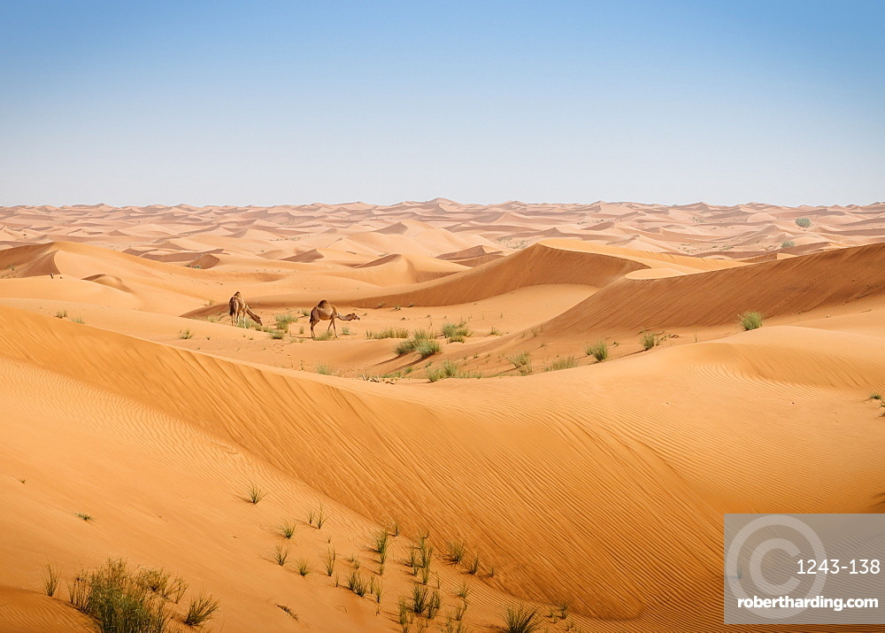 Two camels in the desert of the United Arab Emirates, Middle East