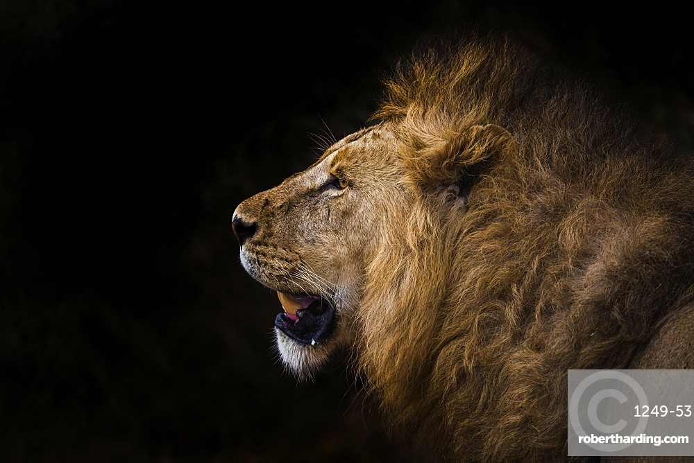 African lion in shadow (Leo panthera), Ngorongoro Crater, Tanzania, East Africa, Africa
