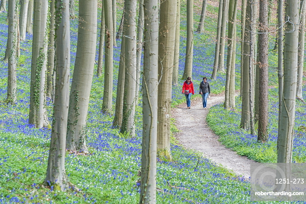 Two people walking on a pathway in a beechwood with bluebell flowers on the ground, Halle, Flemish Brabant province, Flemish region, Belgium, Europe