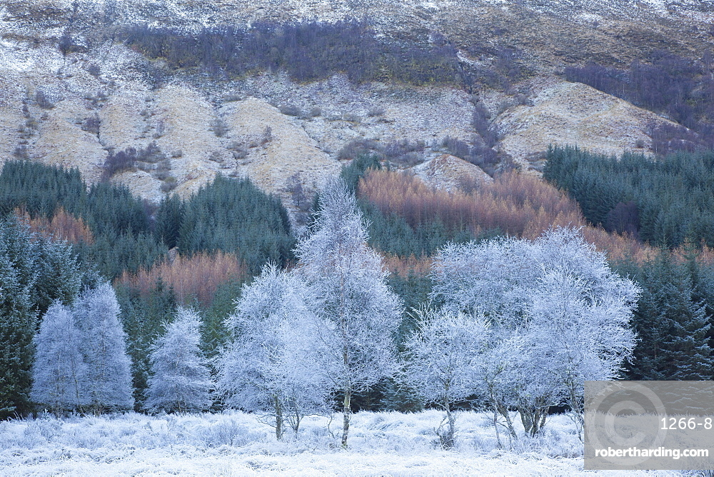 Hoar frosted trees in winter at Glen Orchy, Argyll and Bute, Highlands, Scotland, United Kingdom, Europe
