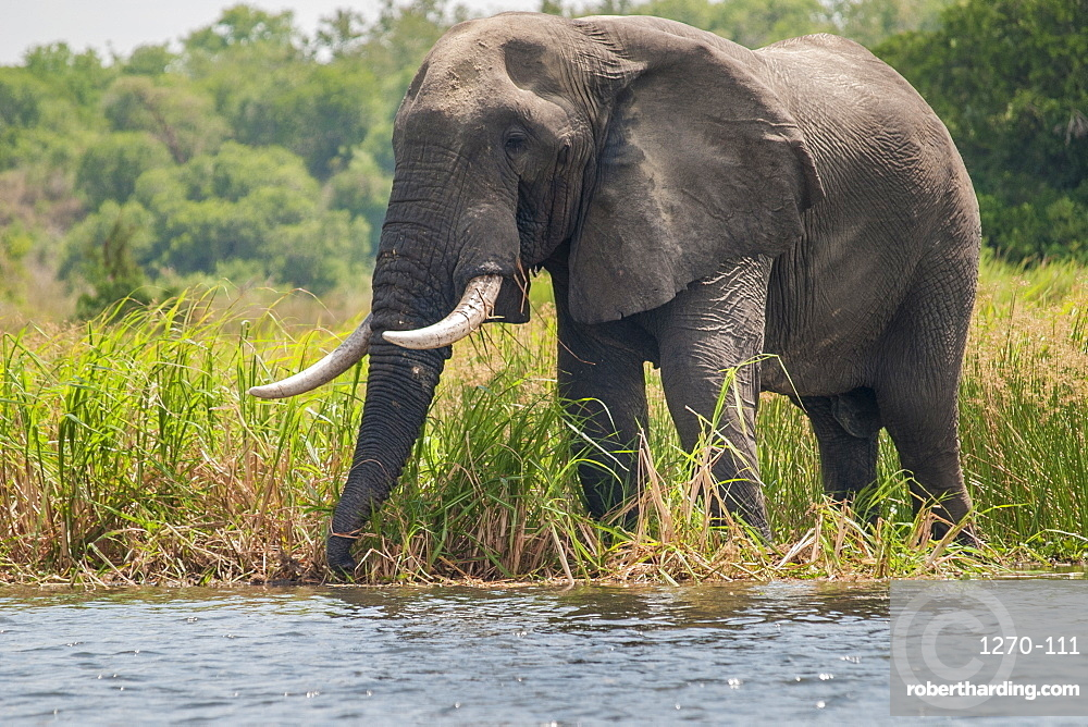 An African elephant feeds on the long grass on the banks of the River Nile in Uganda, Africa