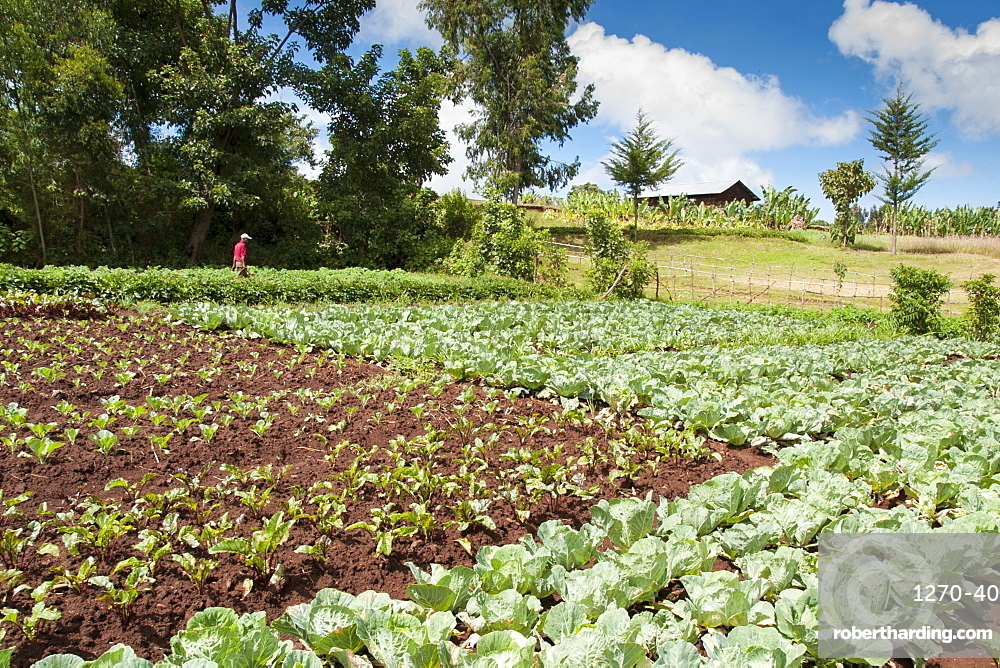 A farmer standing in his fields of vegetables, Ethiopia, Africa