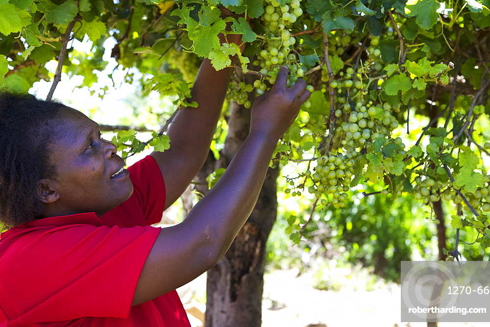 A female farmer picking some grapes from a vine, Lesotho, Africa
