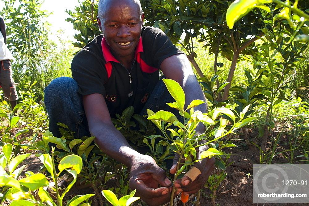 A male farmer grafting orange and lemon trees, Uganda, Africa