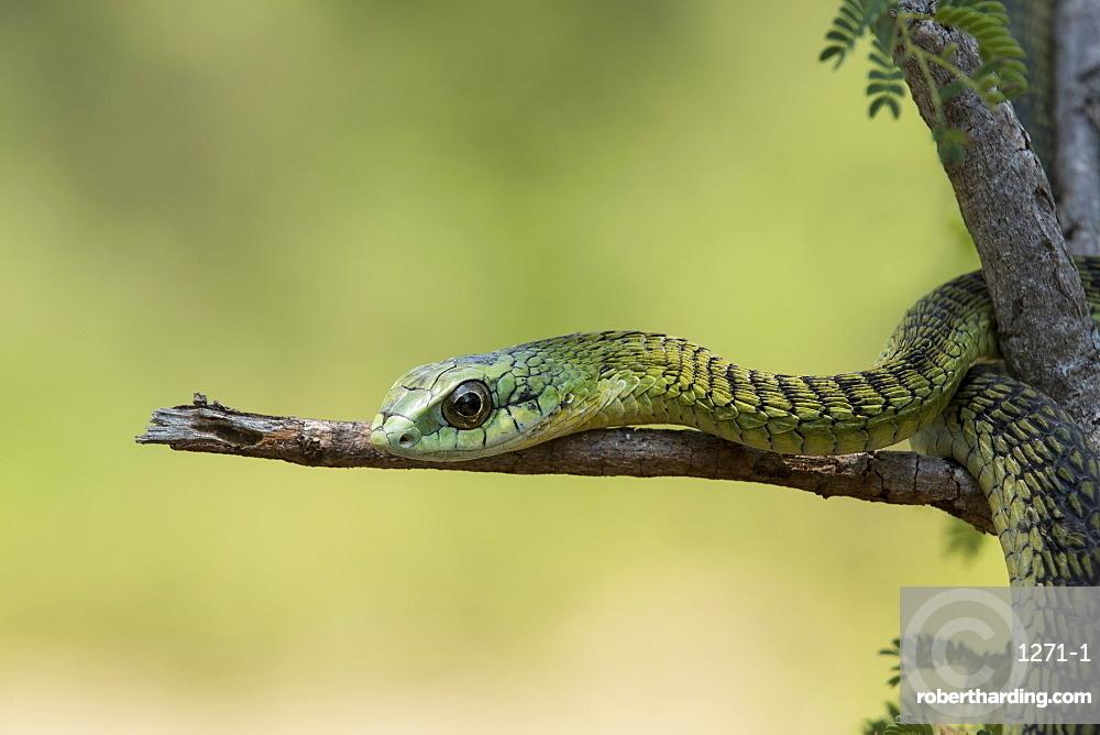 Boomslang (tree snake) (Dispholidus typus), Hoedspruit, Greater Kruger, South Africa, Africa