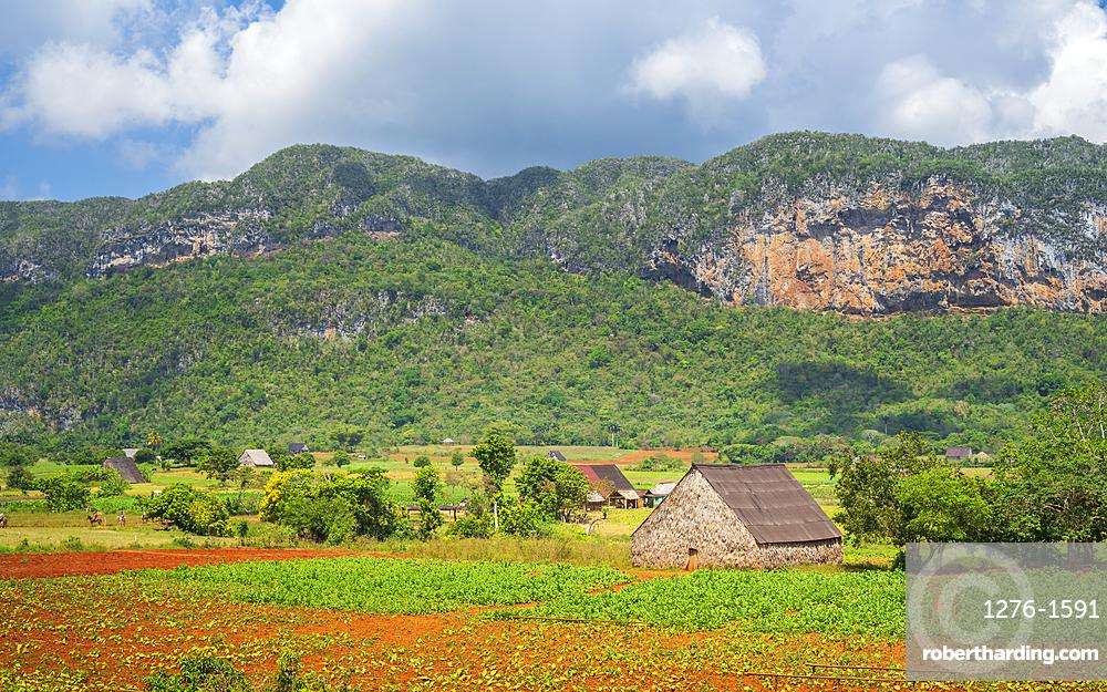 Tobacco field in Vinales National Park, UNESCO World Heritage Site, Pinar del Rio Province, Cuba, West Indies, Caribbean, Central America