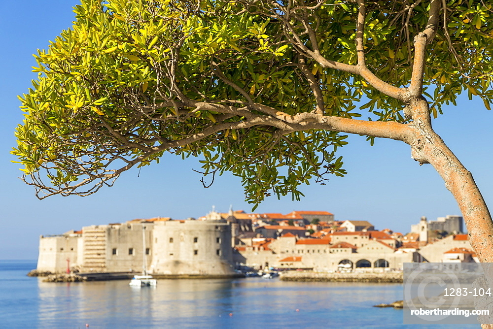 Single tree with view to the old town of Dubrovnik in the background, Croatia, Europe