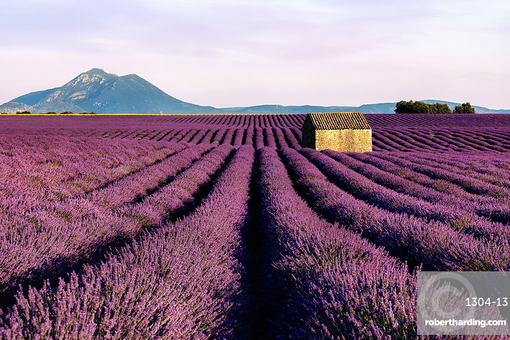 A small hut sits in a wonderful and in bloom lavender field in Valensole, Alpes-de-Haute Provence, France, Europe