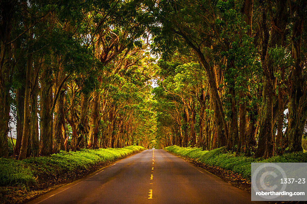 A tunnel of trees stretches to the horizon as light trickles down onto the road below, Koloa, Hawaii, United States of America, Pacific