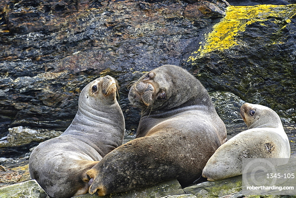 South American Fur Seal (Arctocephalus australis) Isla de Los Estados (Staten Island), Tierra del Fuego, Argentina