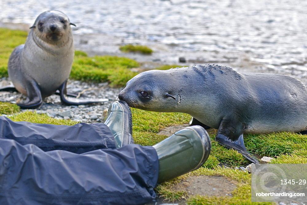 Antarctic fur seal baby (Arctocephalus gazella) interacting with a photographer, Stromness Bay in South Georgia