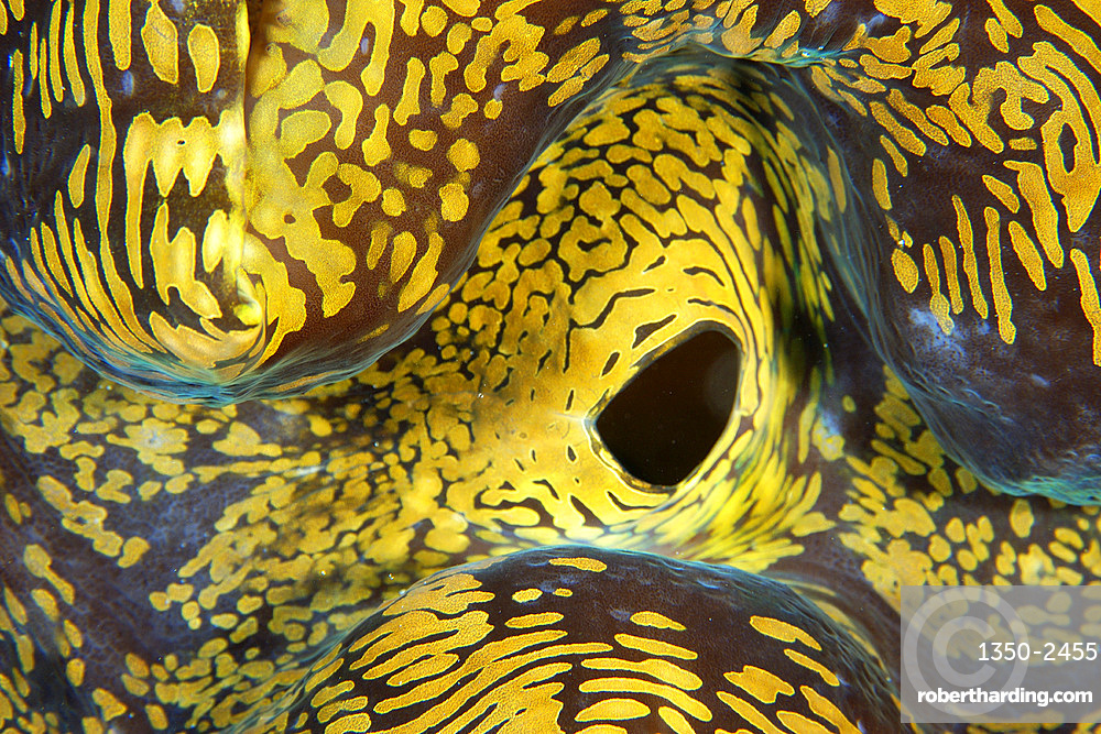 Fluted giant clam, Tridacna squamosa, siphon detail, Namu atoll, Marshall Islands (Pacific).