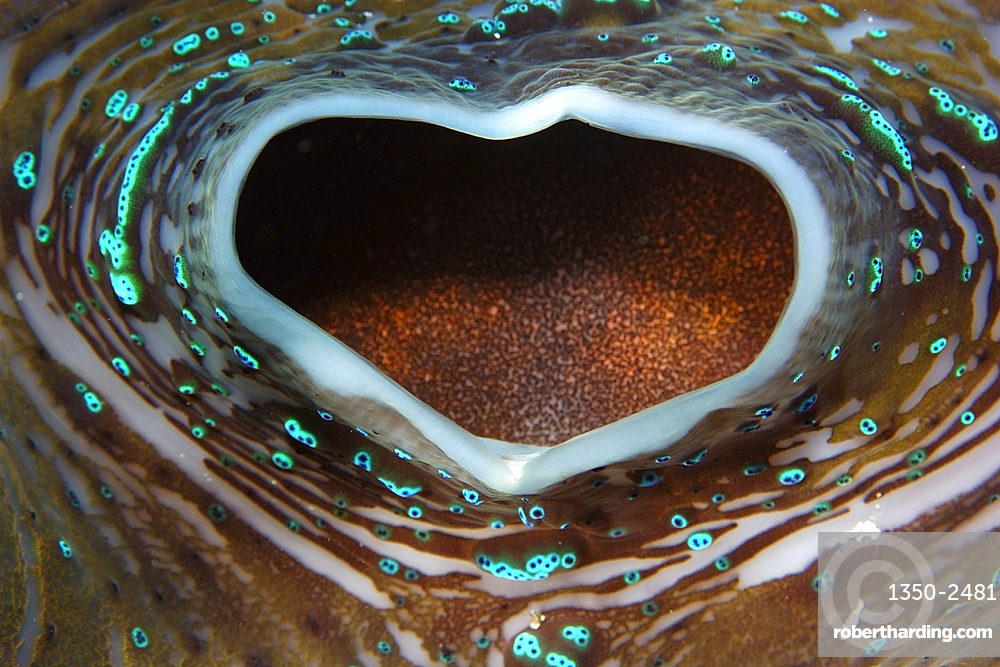 Giant clam, Tridacna gigas, siphon detail, Rongelap, Marshall Islands, Micronesia