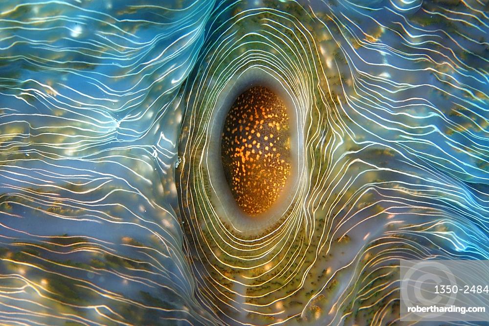 Horseshoe clam, Hippopus hippopus, Rongelap, Marshall Islands, Micronesia
