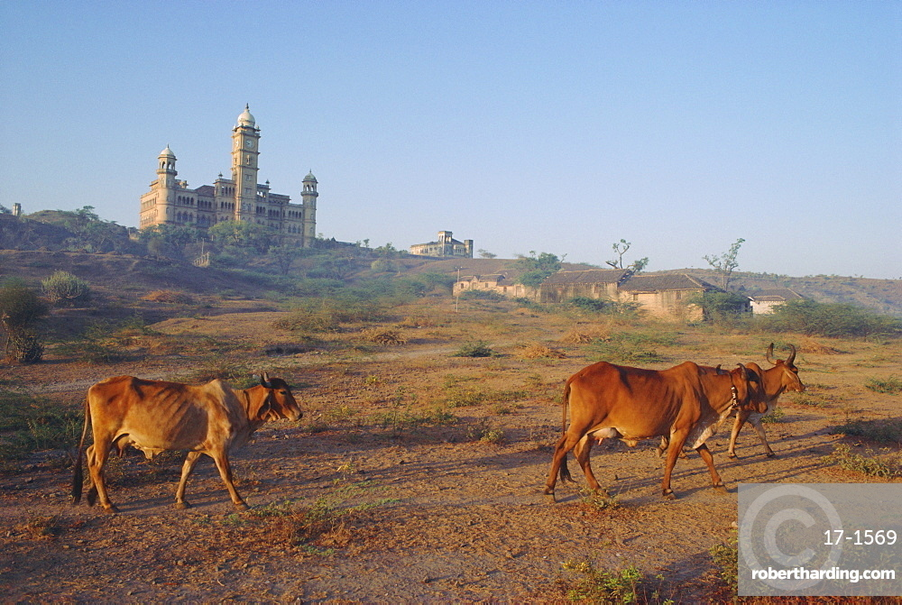 Cattle in front of the Wankaner Palace, Gujarat, India