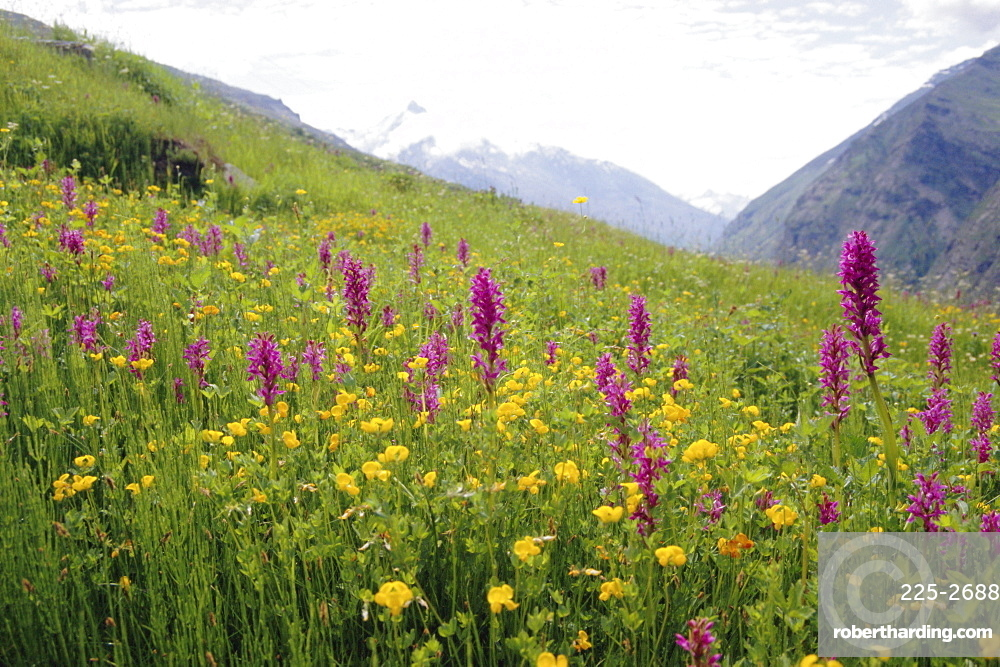 Wild orchids flowering in a meadow in the Himalayas south of Keylong, Himachal Pradesh, India