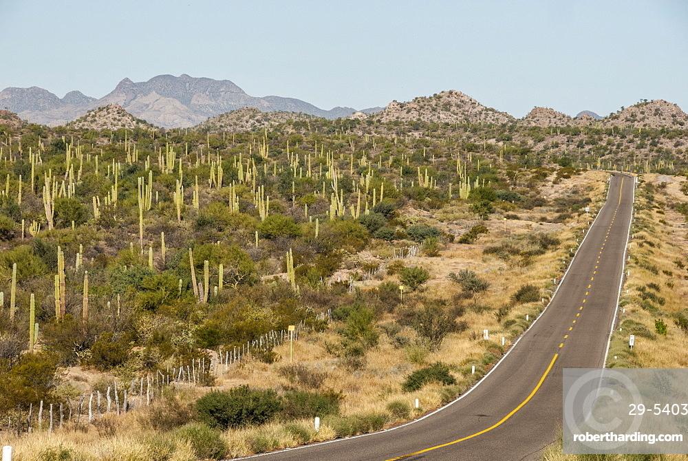 Cardon cacti by main road down Baja California, near Loreto, Mexico, North America