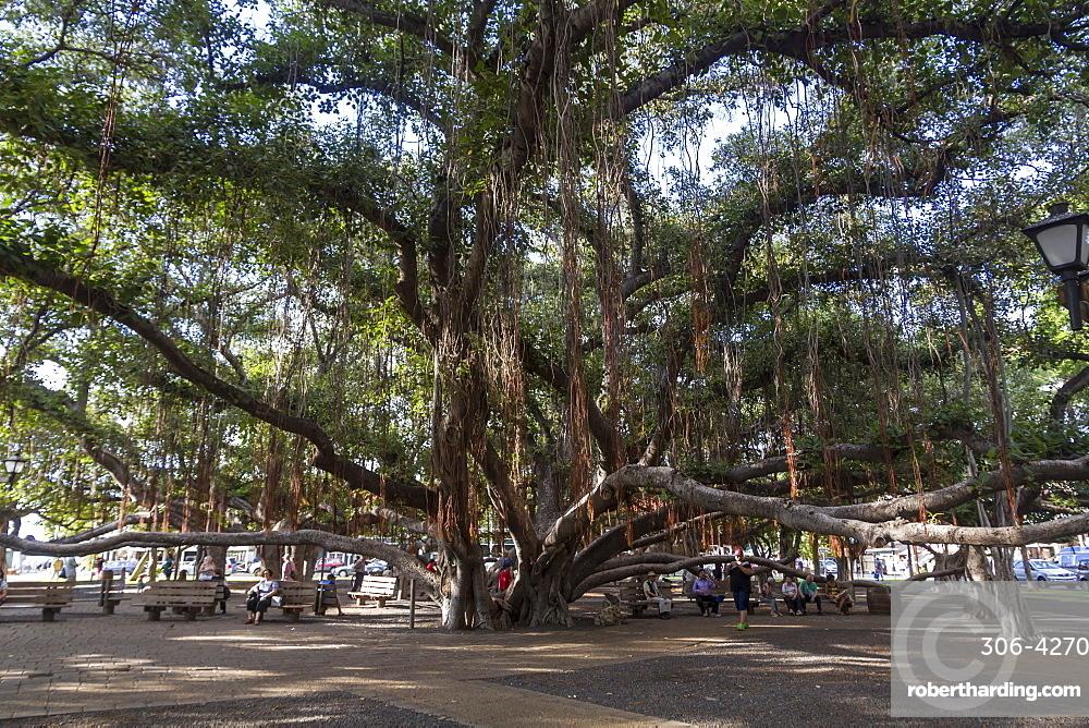 banyan maui tree hawaii lahaina states united pacific america alamy horizontal rolf richardson