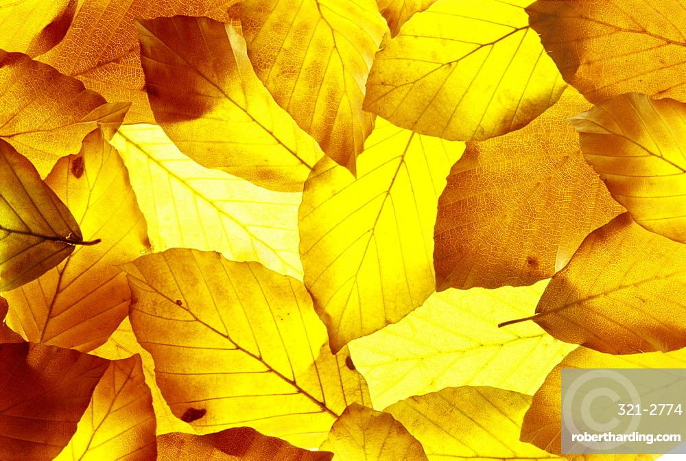 Back-lit autumnal beech leaves on lightbox