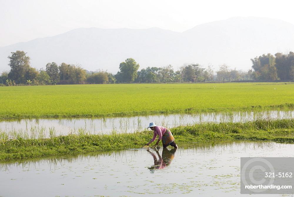 Woman working in paddy fields near Kengtung (Kyaingtong), Shan State, Myanmar (Burma), Asia