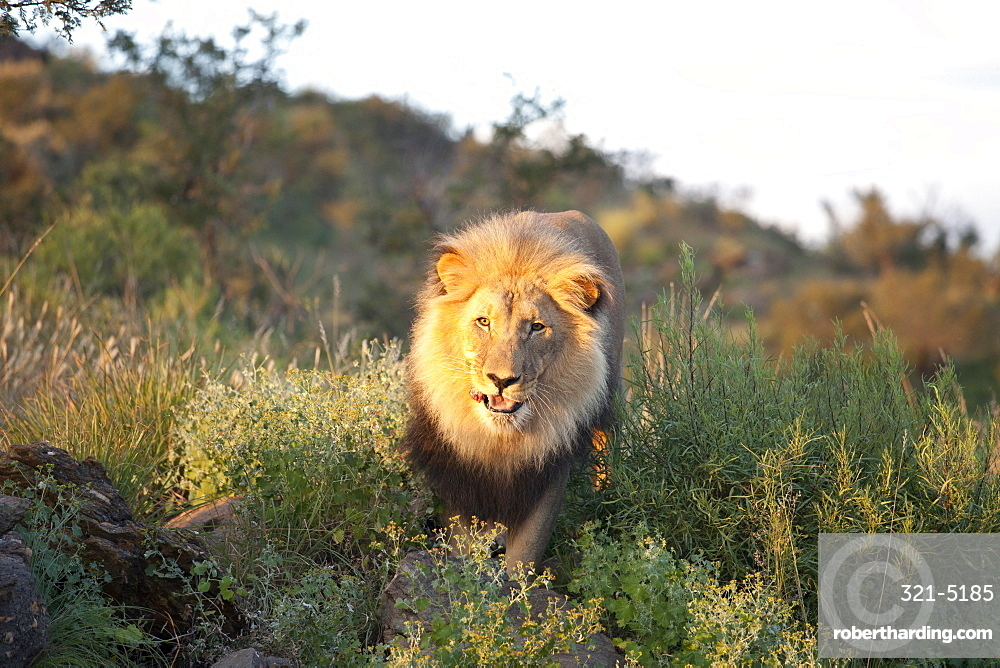 Male lion bathed in evening light, Amani Lodge, near Windhoek, Namibia, Africa