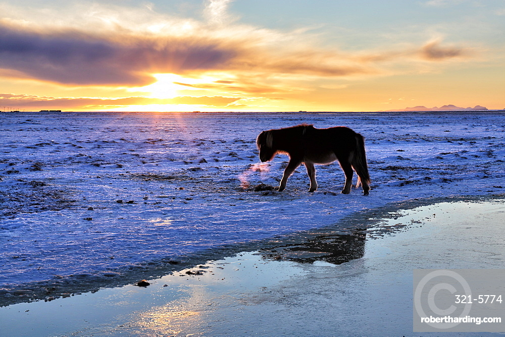 Icelandic horse in snow covered winter landscape at sunset, near Seljalandsfoss Waterfall, South Iceland, Polar Regions