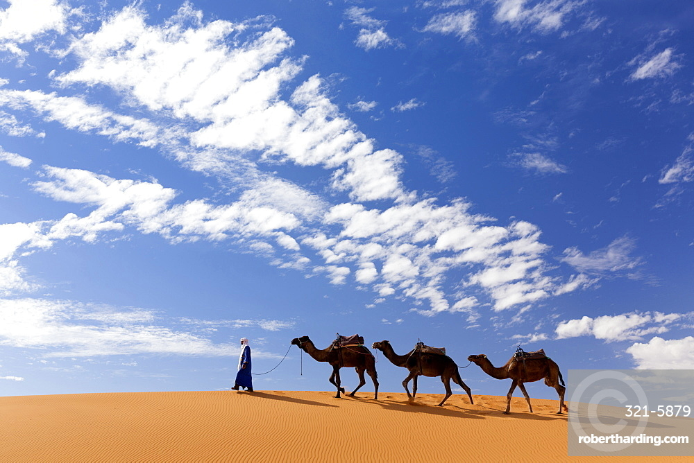 Camels being led over dunes of the Erg Chebbi sand sea, part of the Sahara Desert near Merzouga, Morocco, North Africa, Africa