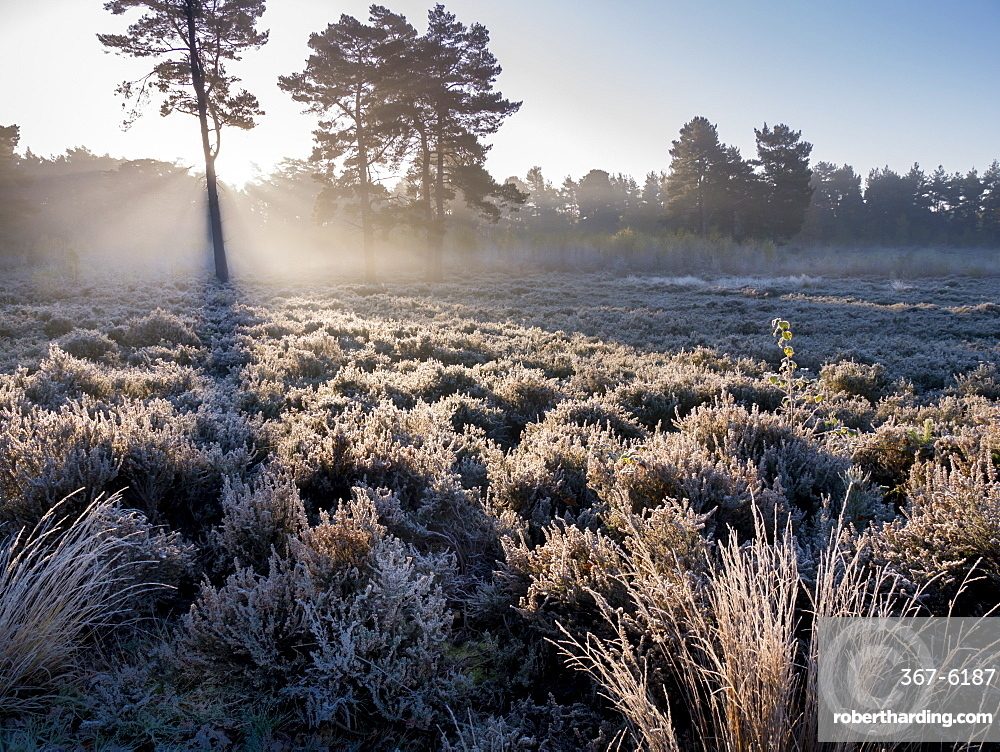 Forest sunbeams, Esher Common, Esher, Surrey, England, United Kingdom, Europe