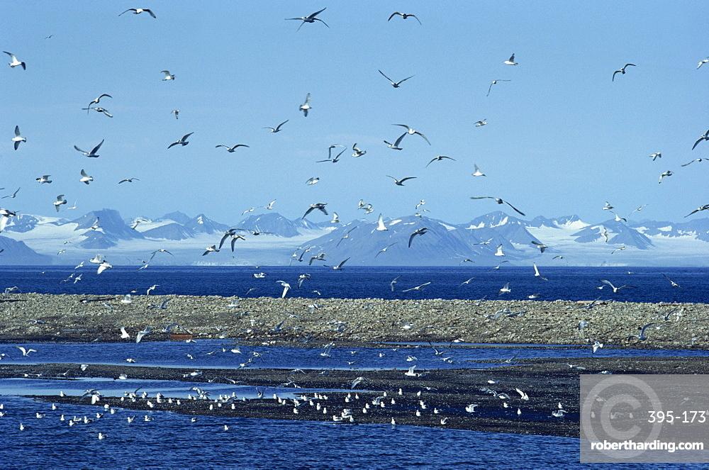 Gulls inhabit the rocky shallows near Longyearbyen airport, Svalbard, Arctic, Norway, Scandinavia, Europe