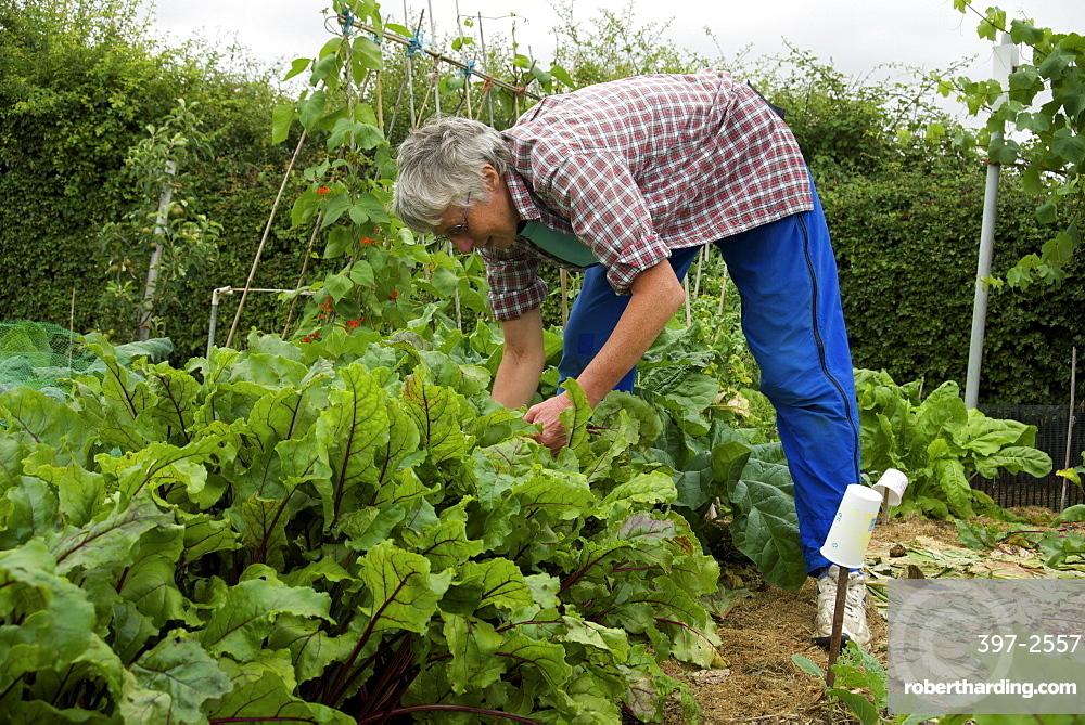 Allotment gardening in Cambridgeshire, England, United Kingdom, Europe