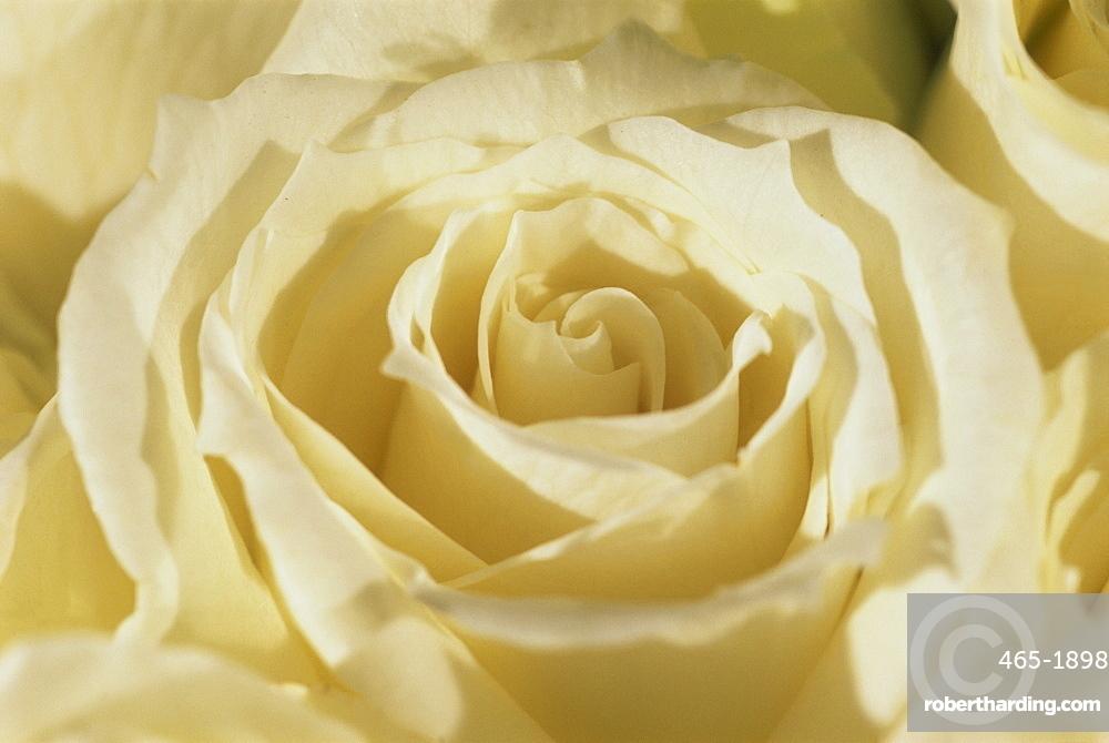 Portrait of a white rose corolla