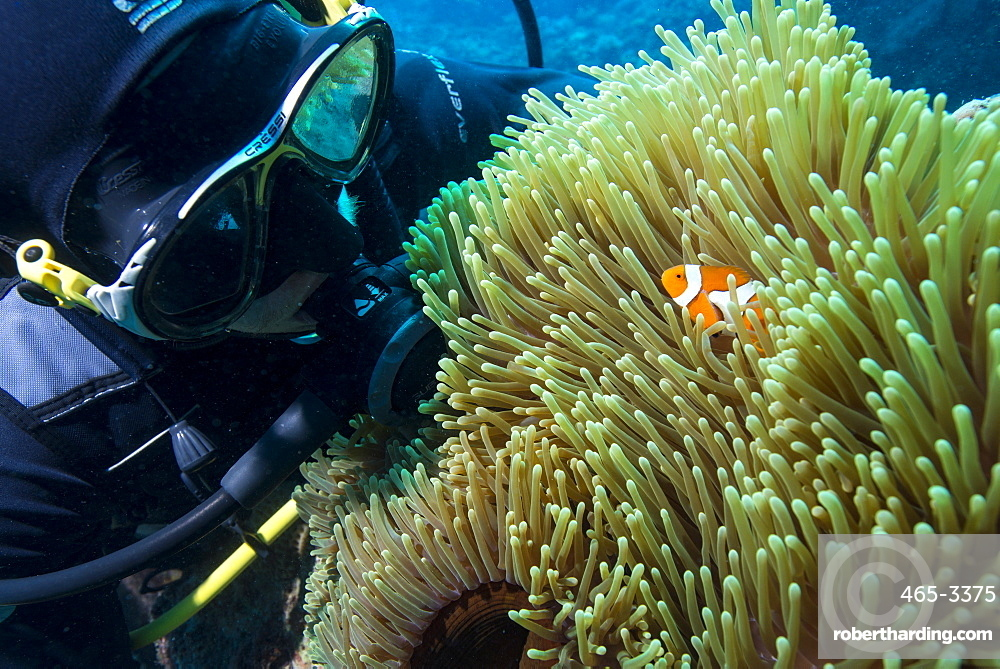 Scuba diver with False clown anenomefish (Amphiprion ocellaris) and anemone, Magnificent Sea Anemone (Heteractis magnifica), Cairns, Queensland, Australia, Pacific