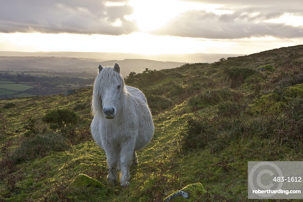 Pony in evening light on Dartmoor, Dartmoor National Park, Devon, England, United Kingdom