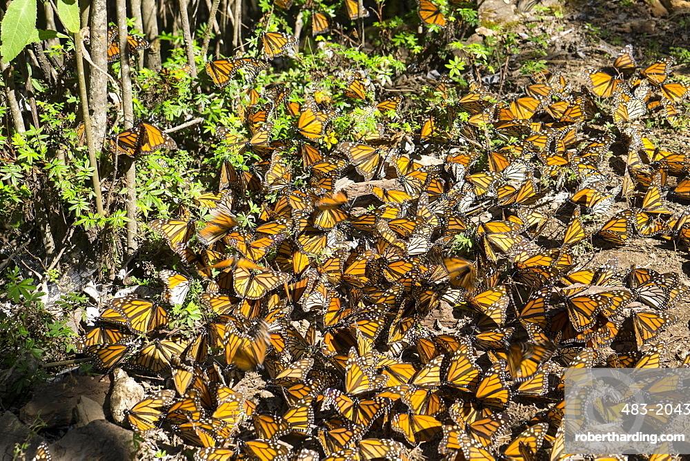 Cerro Pelon Monarch Butterfly Biosphere, UNESCO World Heritage Site, Mexico, North America