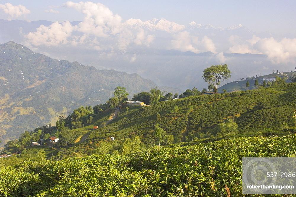 Singtom tea garden, snowy and cloudy Kandchengzonga peak in background, Darjeeling, West Bengal state, Himalayas, India, Asia