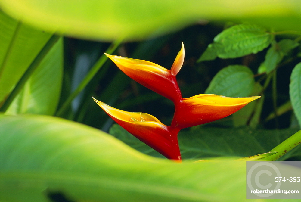 Heliconia flower (bird of paradise), tropical rainforest, Dominica, Caribbean, Central America