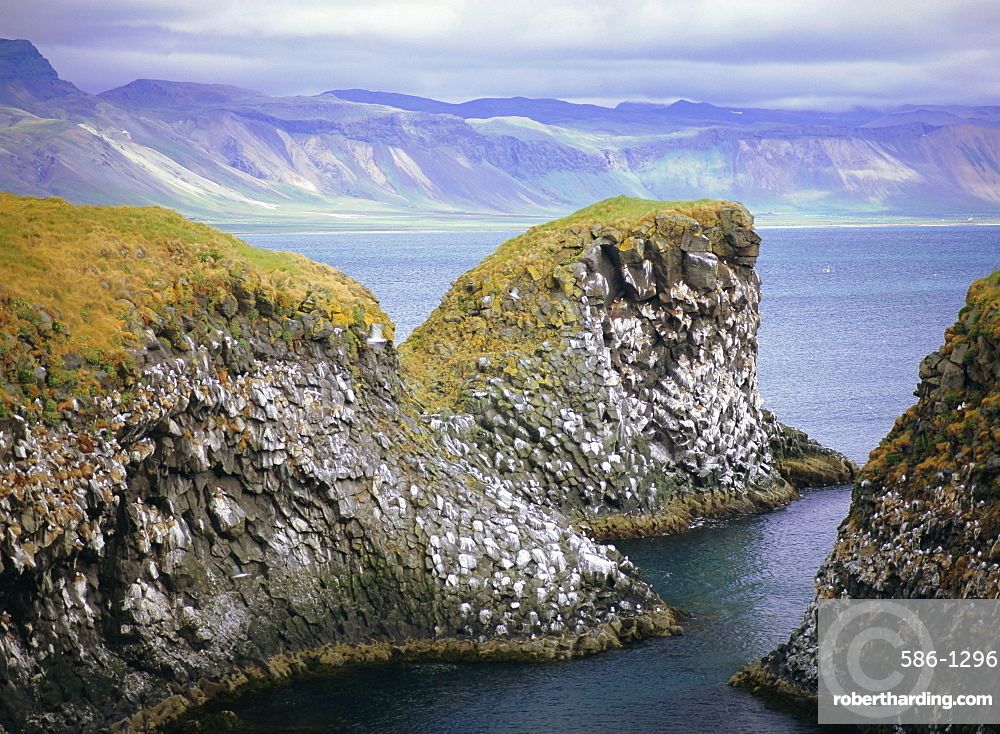 Sea cliff nesting sites in the columnar basalt for sea birds such as kittiwake (Rissa tridactyla), Arnarstapi, Iceland
