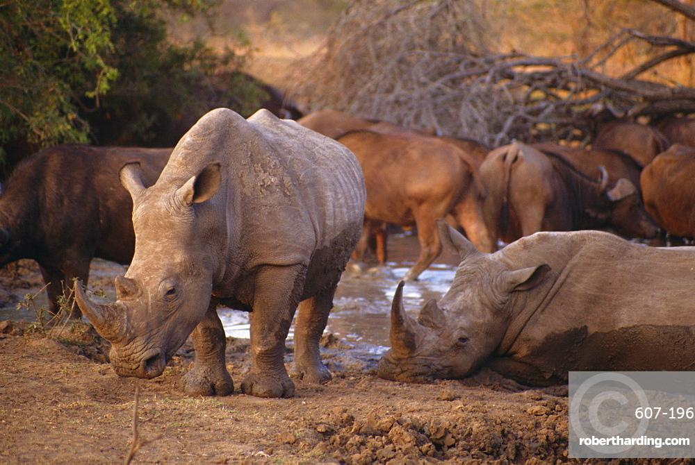 Square-lipped Rhino (Ceratotherium simum), Kruger Park, South Africa